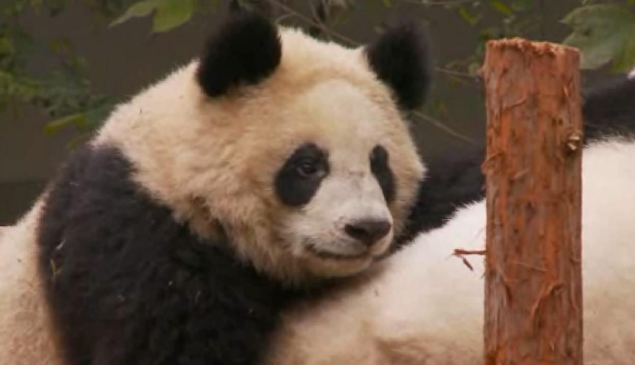 giant panda china_74598