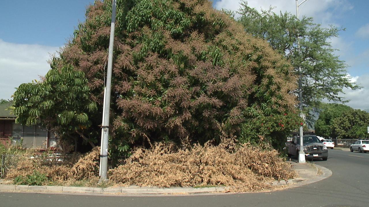 kapahulu kiawe tree_74362