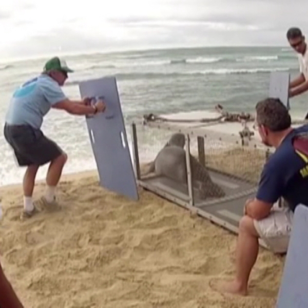 monk seal release (2)_74507