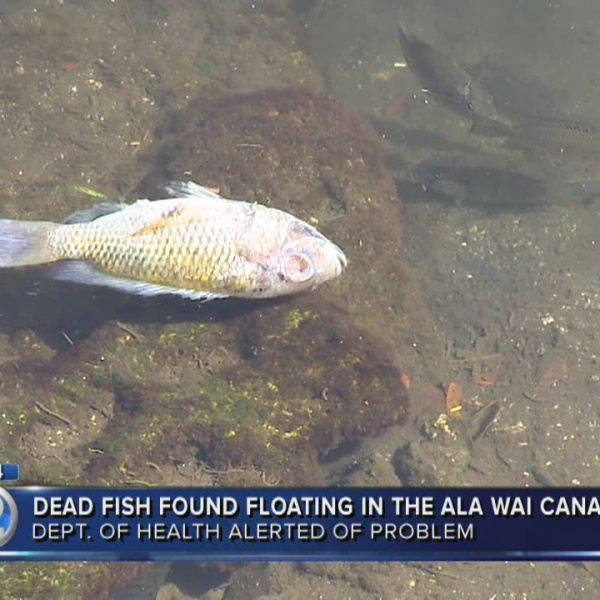 Nearly 100 tilapia found dead, dying in Ala Wai Canal