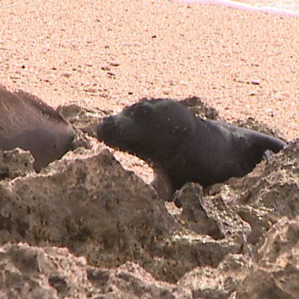 monk seal pup_81121