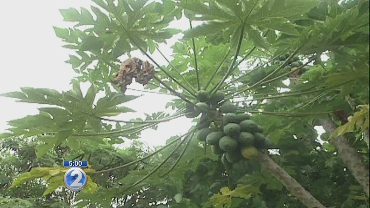 Why Maui GMO ban may be overturned despite voter approval