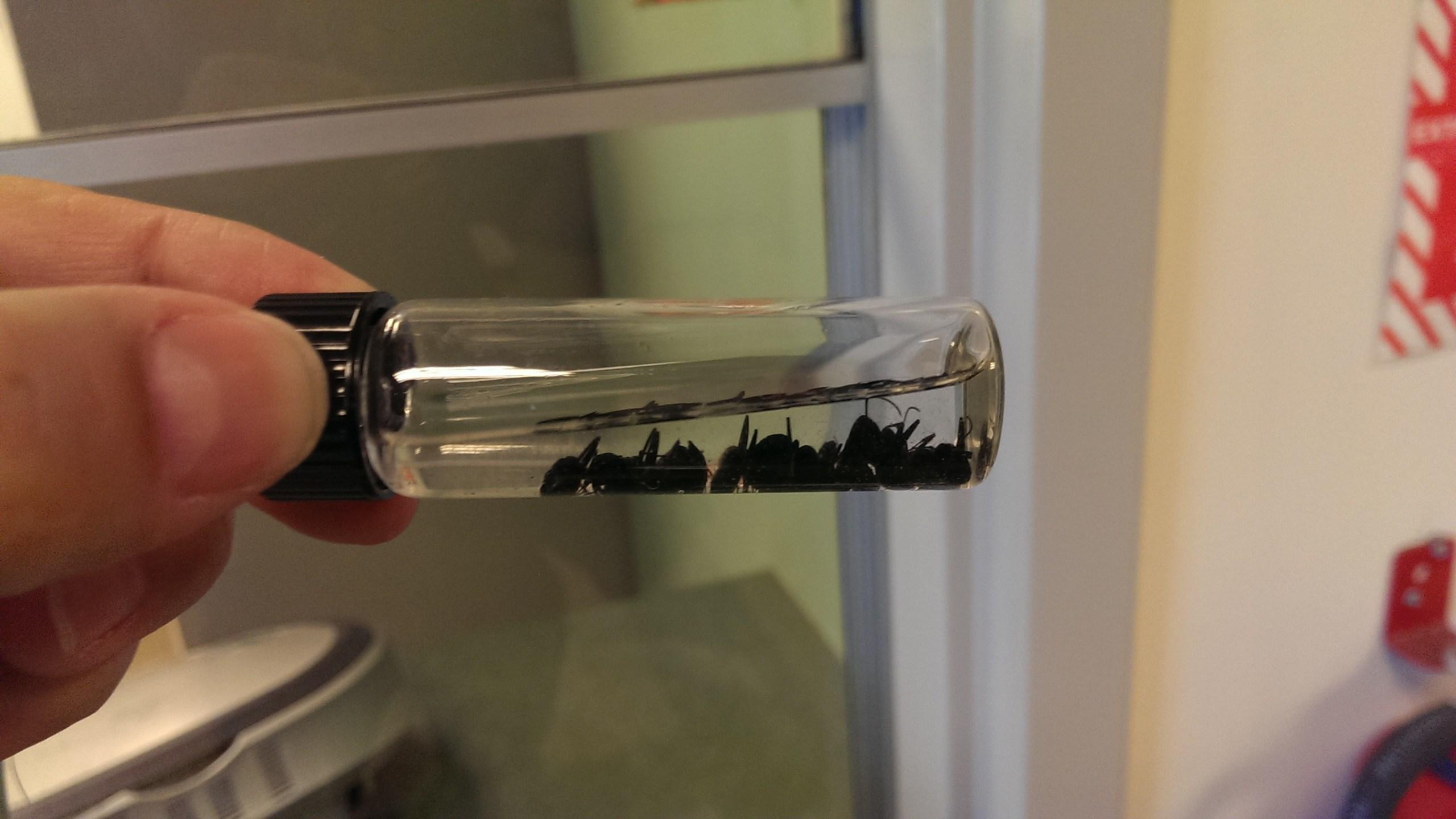 black carpenter ant_81698