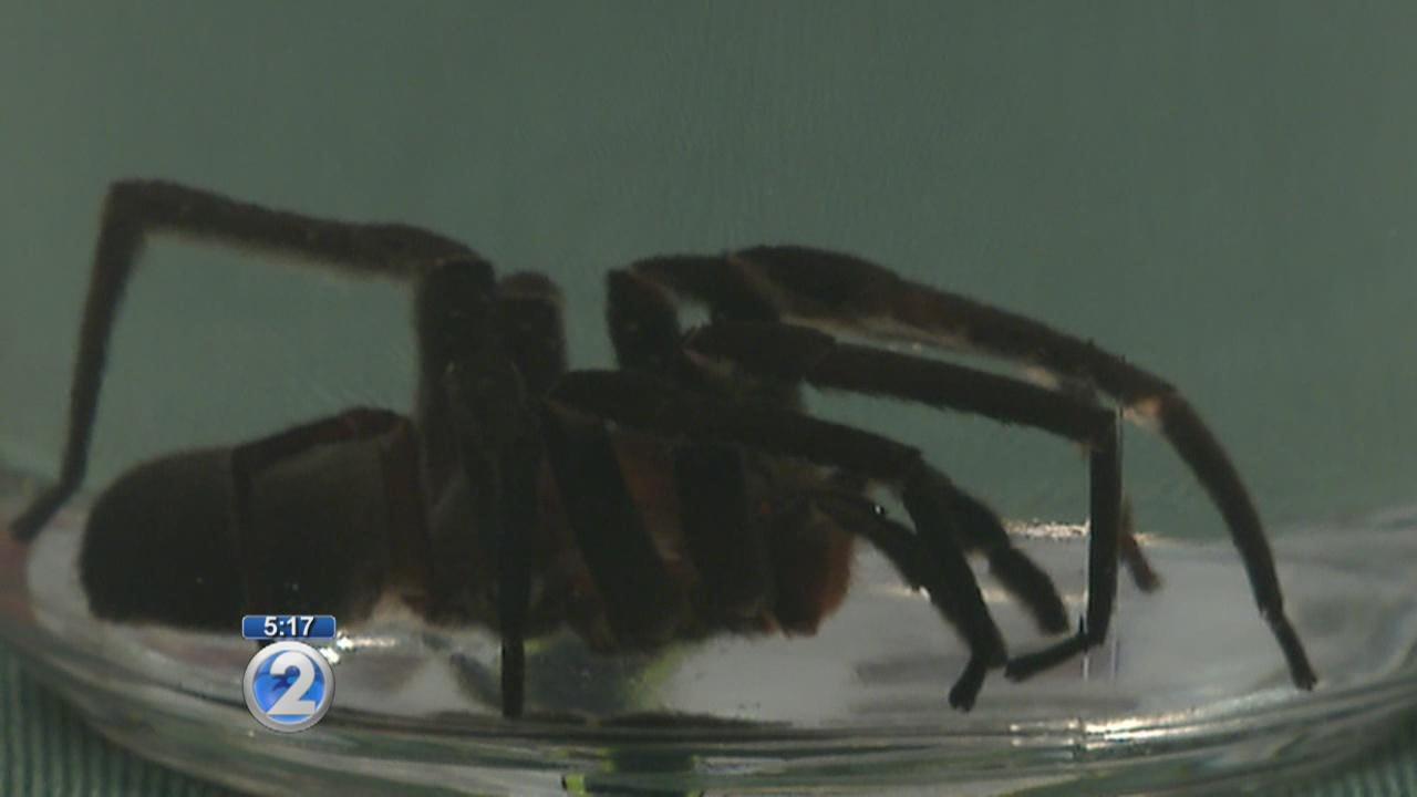 Closer look at venomous spider caught in Honolulu