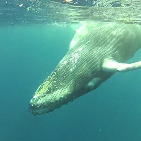 noaa humpback whale_89984