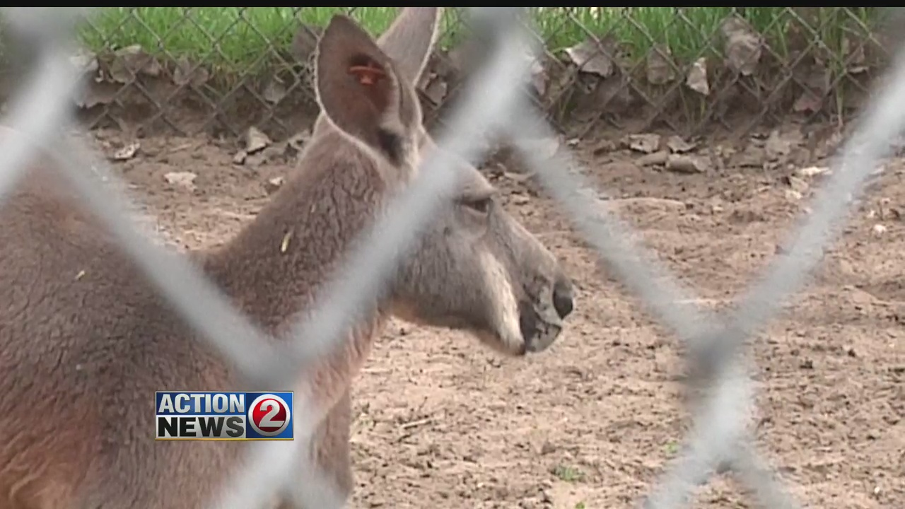 adult kangaroo behind fence at zoo Outagamie County_93836