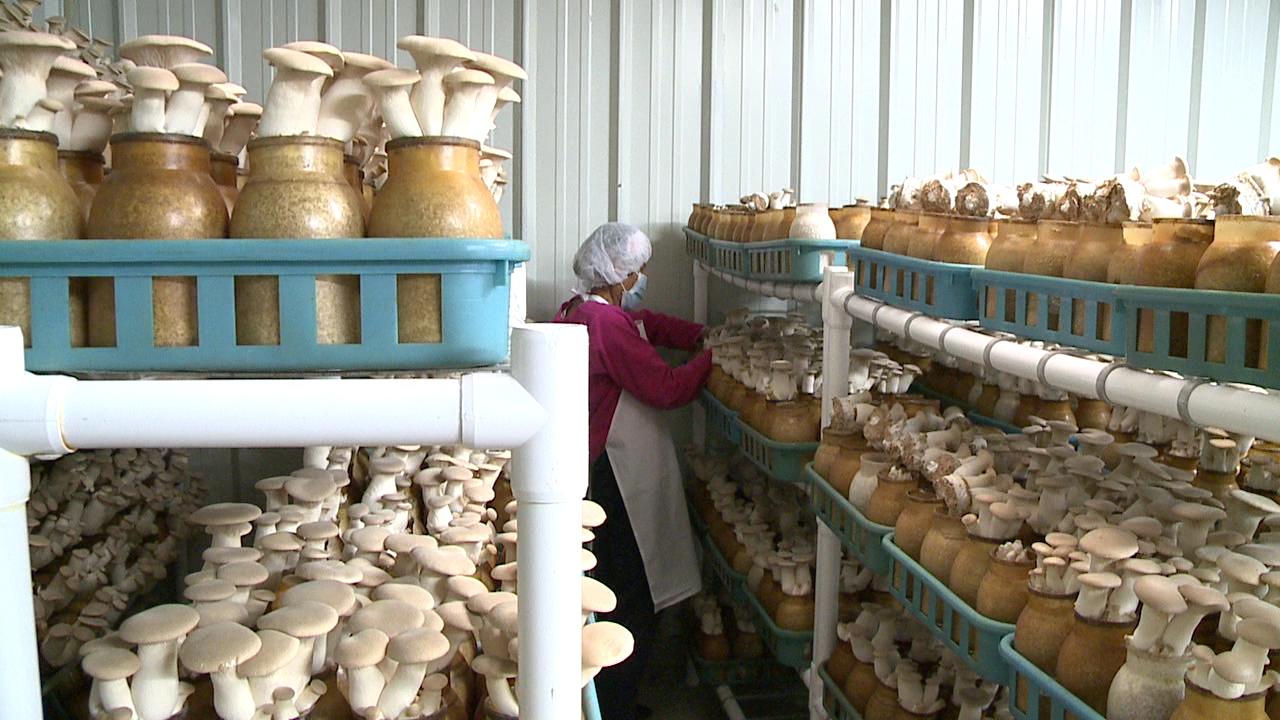 hamakua mushrooms (2)_94324