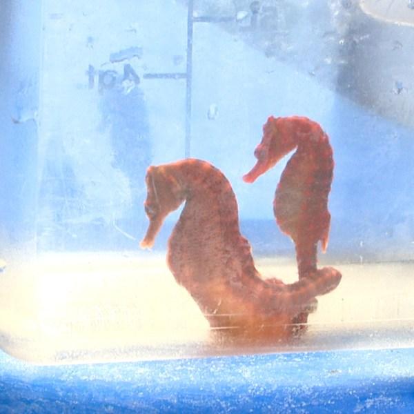 ocean rider seahorse farm (1)_95775