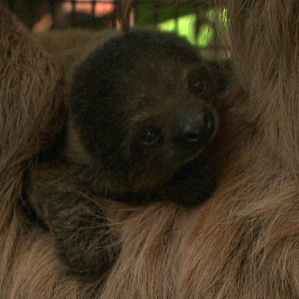 baby sloth zoo-3_98303