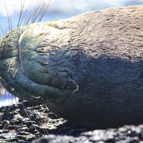 hooked seal unhooked noaa_98870