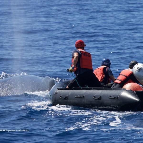humpback whale 2015-2-20_NOAA_Davis_P932-1905-411IMG_2100_100341