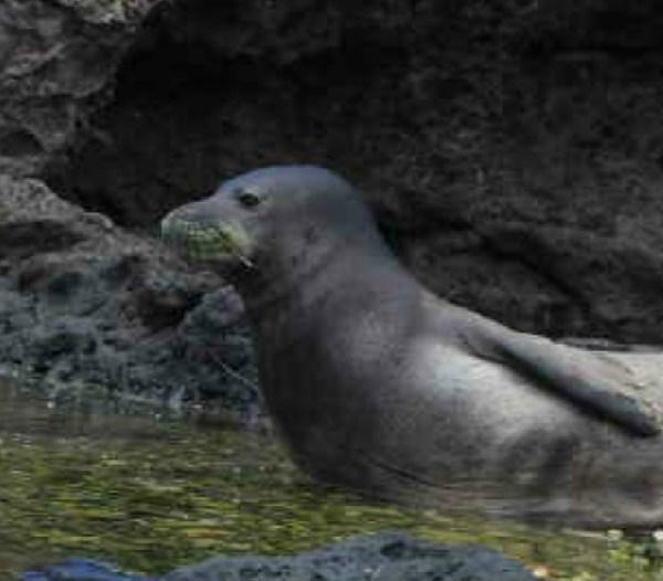 monk seal hook in cheek_101110