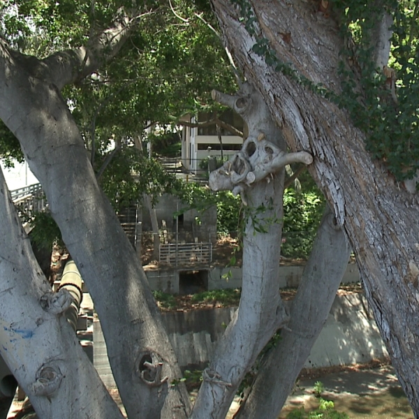 st louis trees_102148