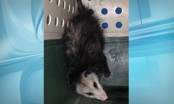 kakaako opossum edit_105572