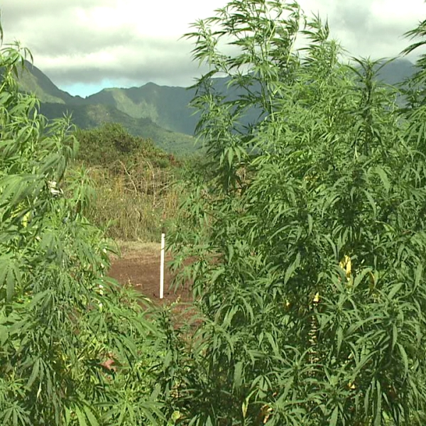 uh hemp farm_106907