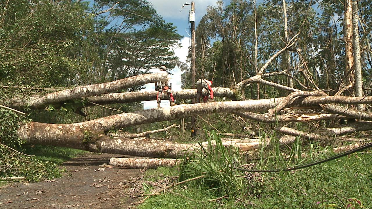 albizia tree cut down iselle big island_97996