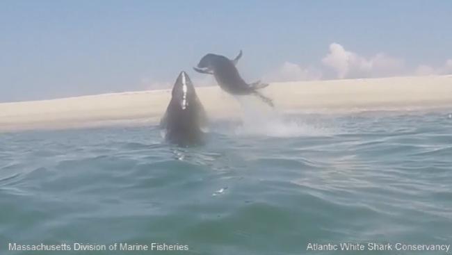 atlantic-white-shark-conservancy-seal-escape_111781