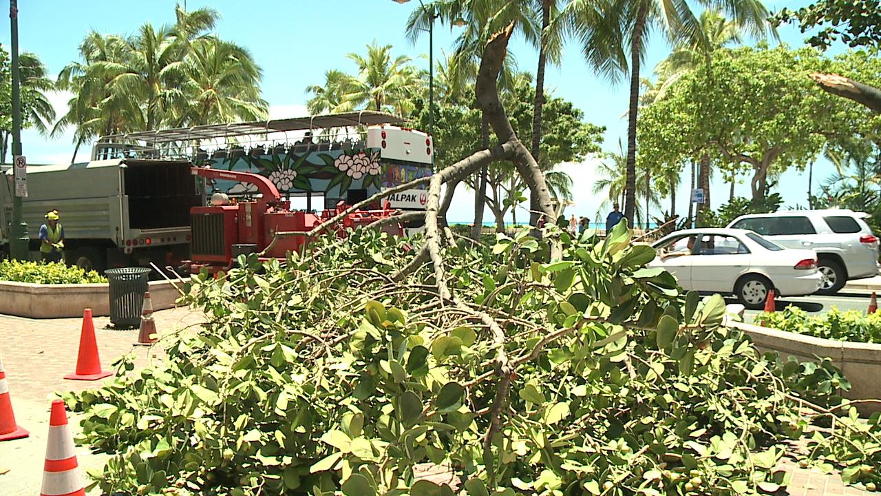 waikiki fallen tree branch_110690