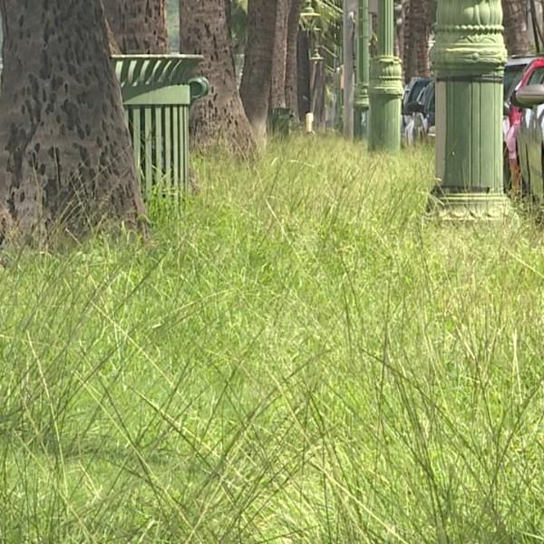 ala wai boulevard tall grass_118276