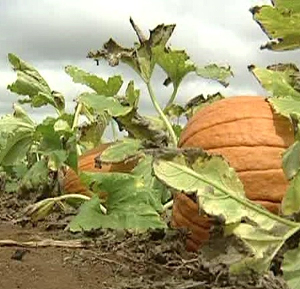 aloun farms pumpkin patch_119166