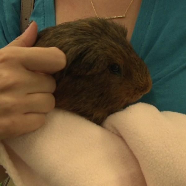 animal hoarding guinea pigs_125387