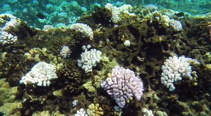 coral bleaching molokini DLNR_122547