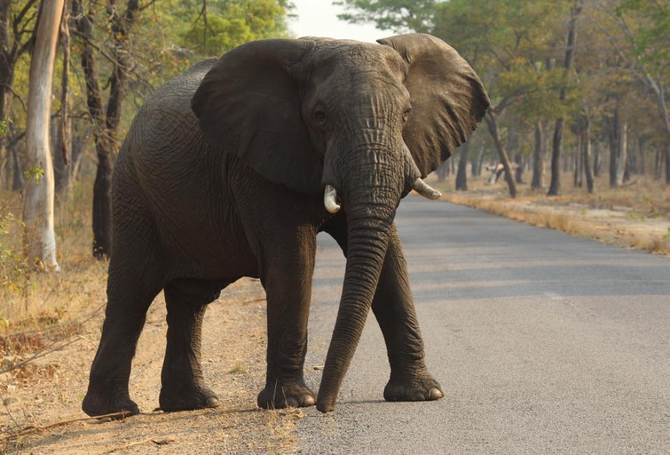 Elephants Cancer Paradox_122806