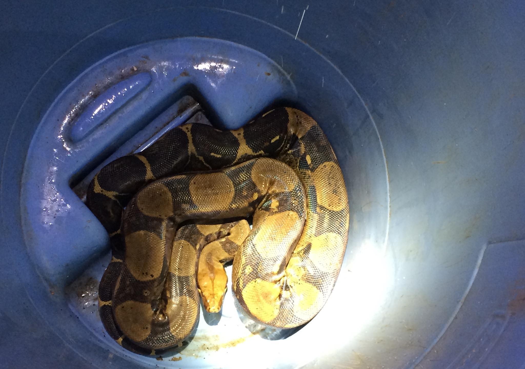 11-19 nuuanu snake brian sakamaki_129859