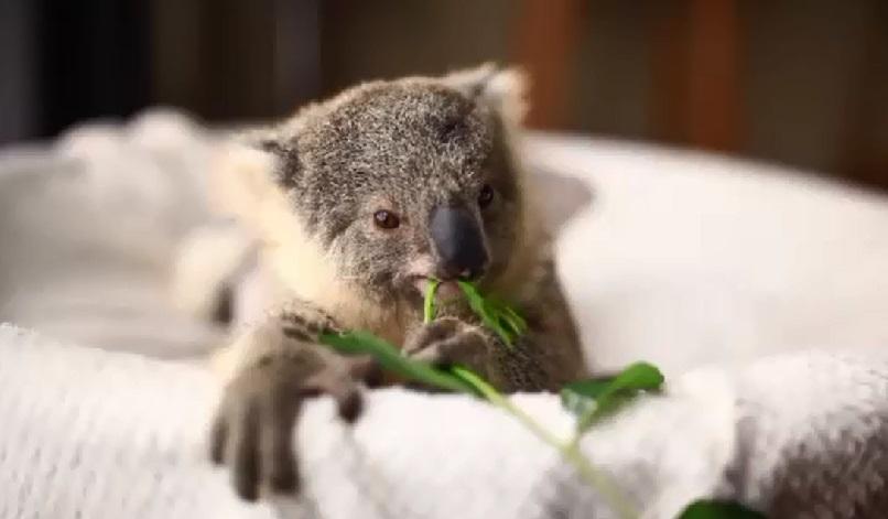 baby koala symbio zoo_128661