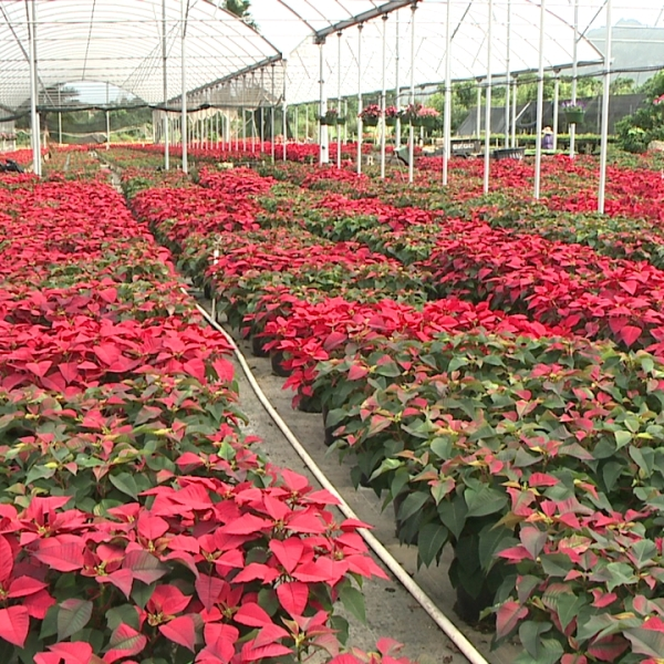 poinsettia nursery_129469
