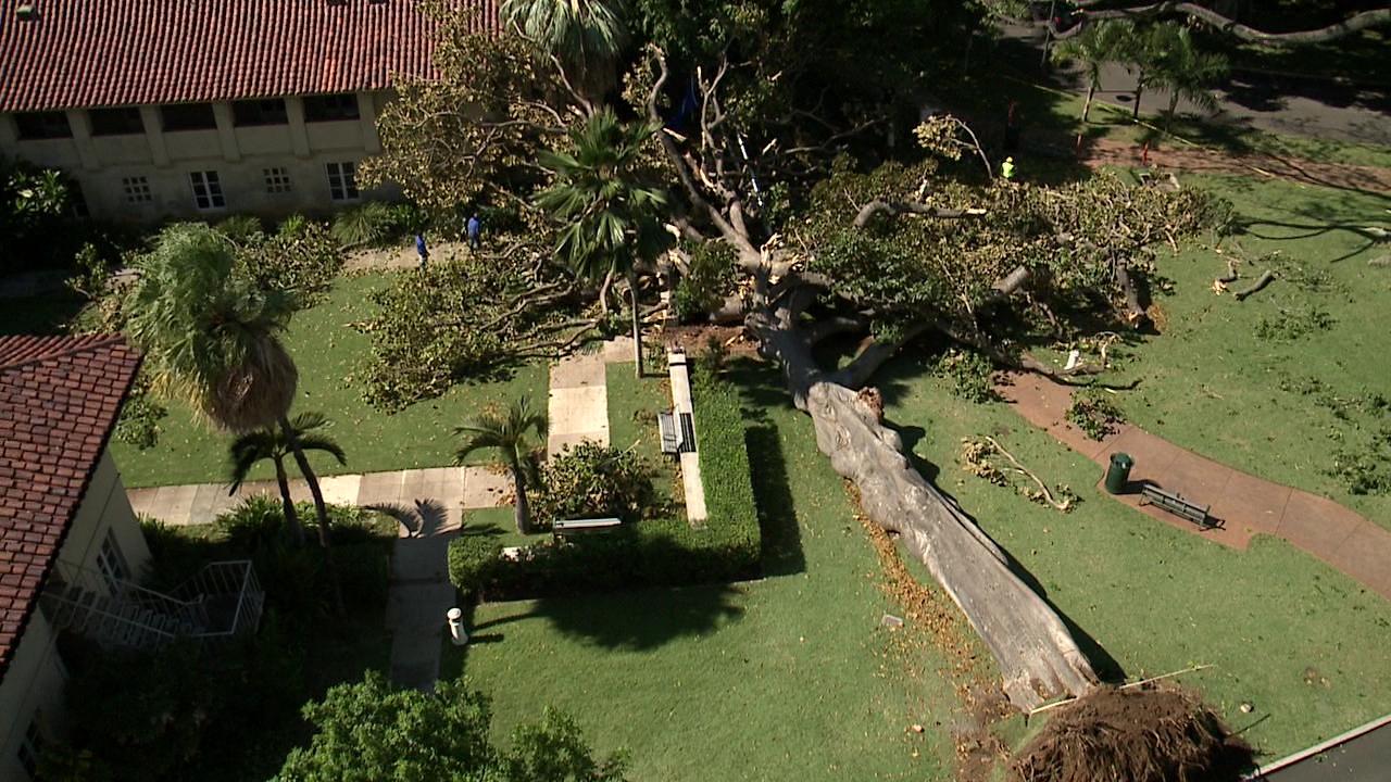 queens medical center fallen tree_130964