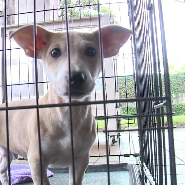 hawaiian humane society dog_76287
