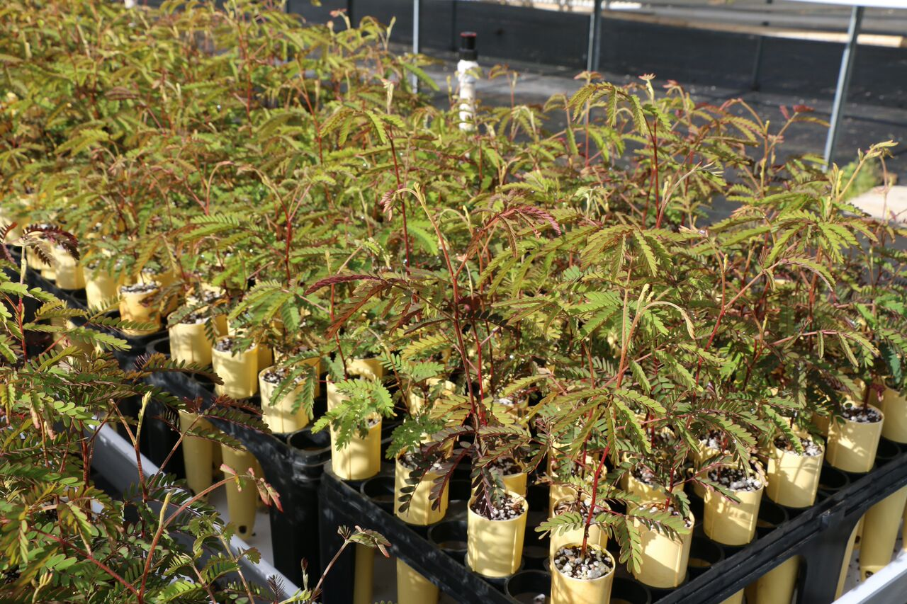 Photographs of Koa seedlings at Maui Plant Nursery_132655