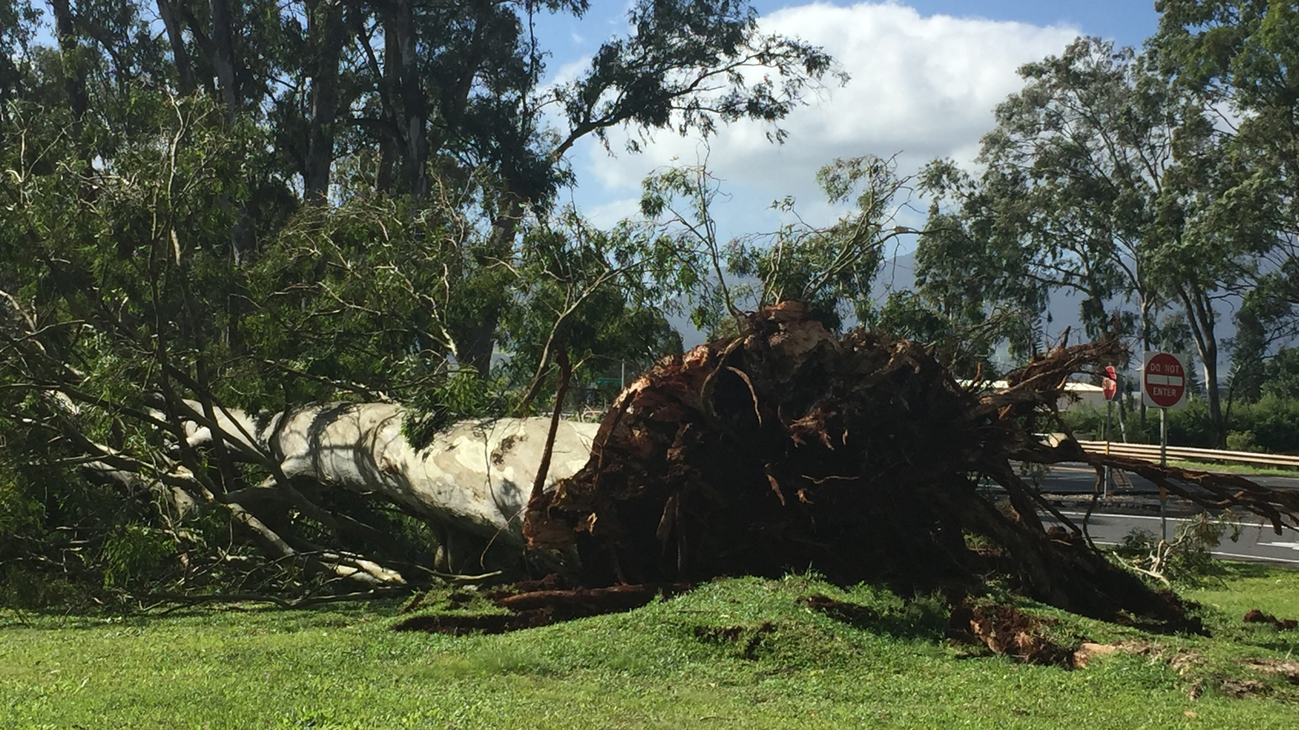 uprooted tree by H2 entrance near kahelu and wikao_134779