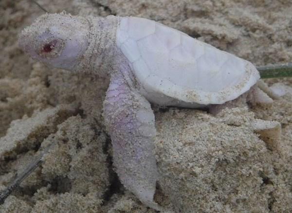 albino sea turtle_142357