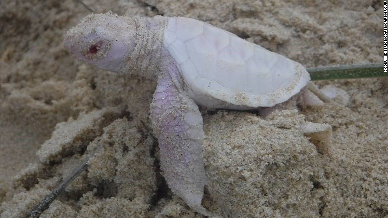 albino sea turtle_142357