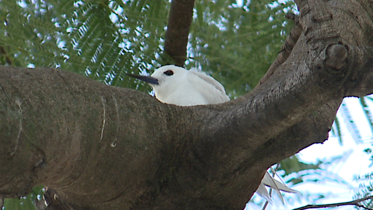 queens tree white tern bird_143003
