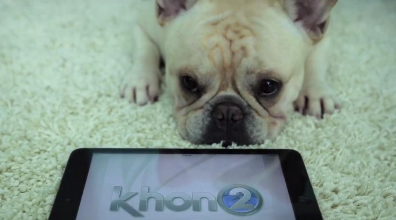 stewie french bulldog khon2 mobile app_145098