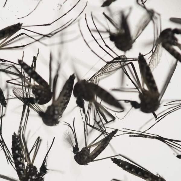 zika virus mosquitoes-1_141080