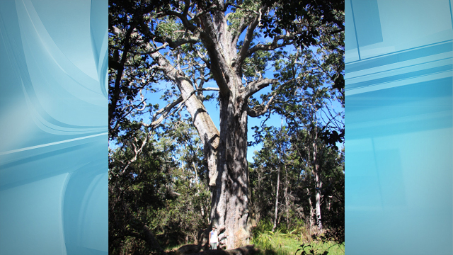 koa-tree-dlnr_147996
