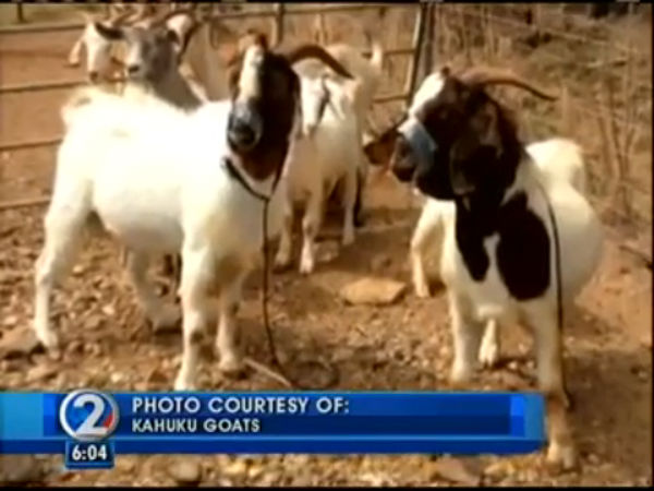 From KHON2's archives: Kahuku goats stolen, bound, duct taped