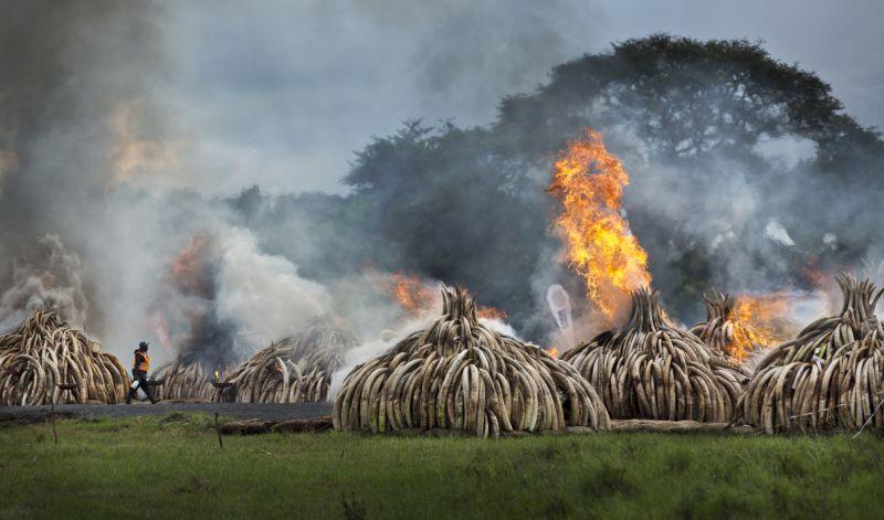 kenya ivory tusk burning_154995