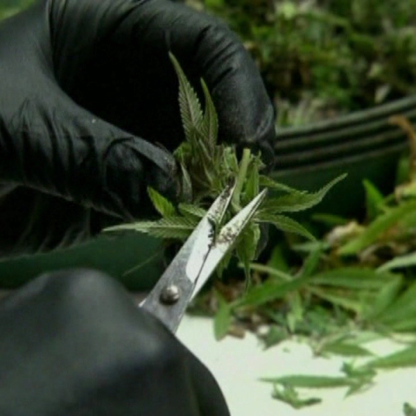 medical marijuana_152698