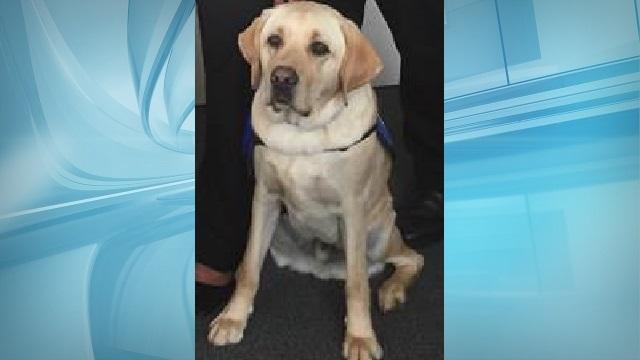 ollie lab kauai county dog_156593