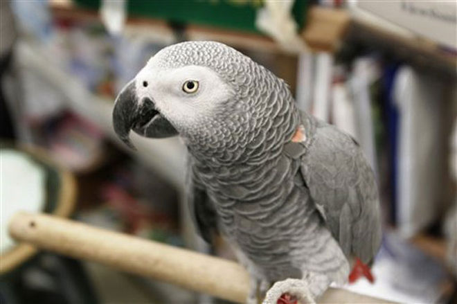 african gray parrot_160278