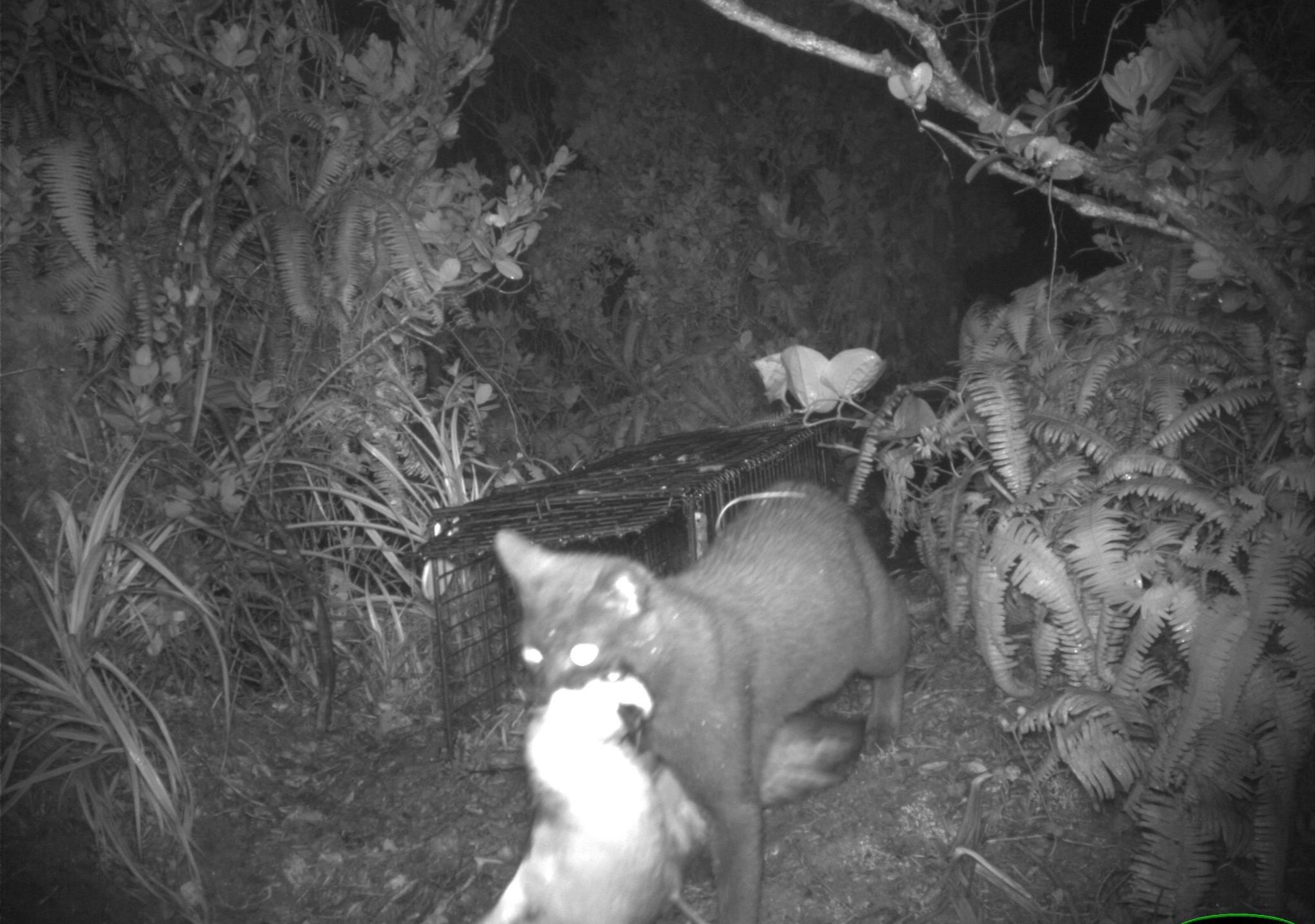 Feral Cats in Burrow Kauai_163012