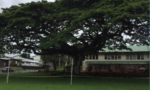 hilo monkeypod tree_165196