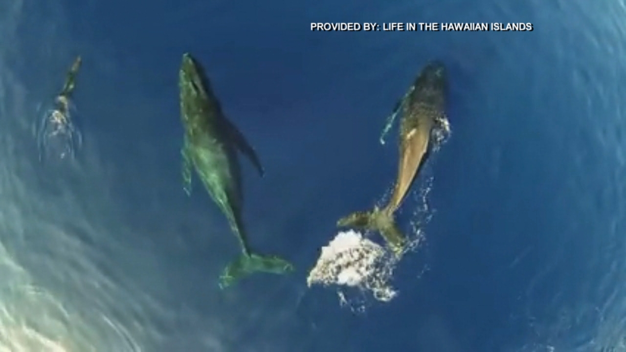 humpback whales dolphins life in the hawaiian islands_165016
