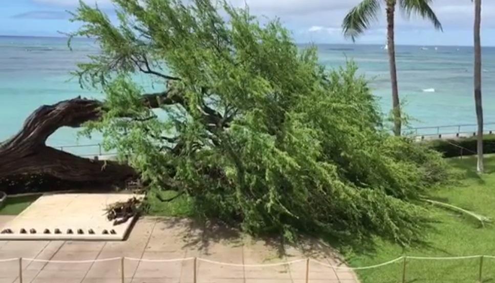 halekulani downed tree_171509