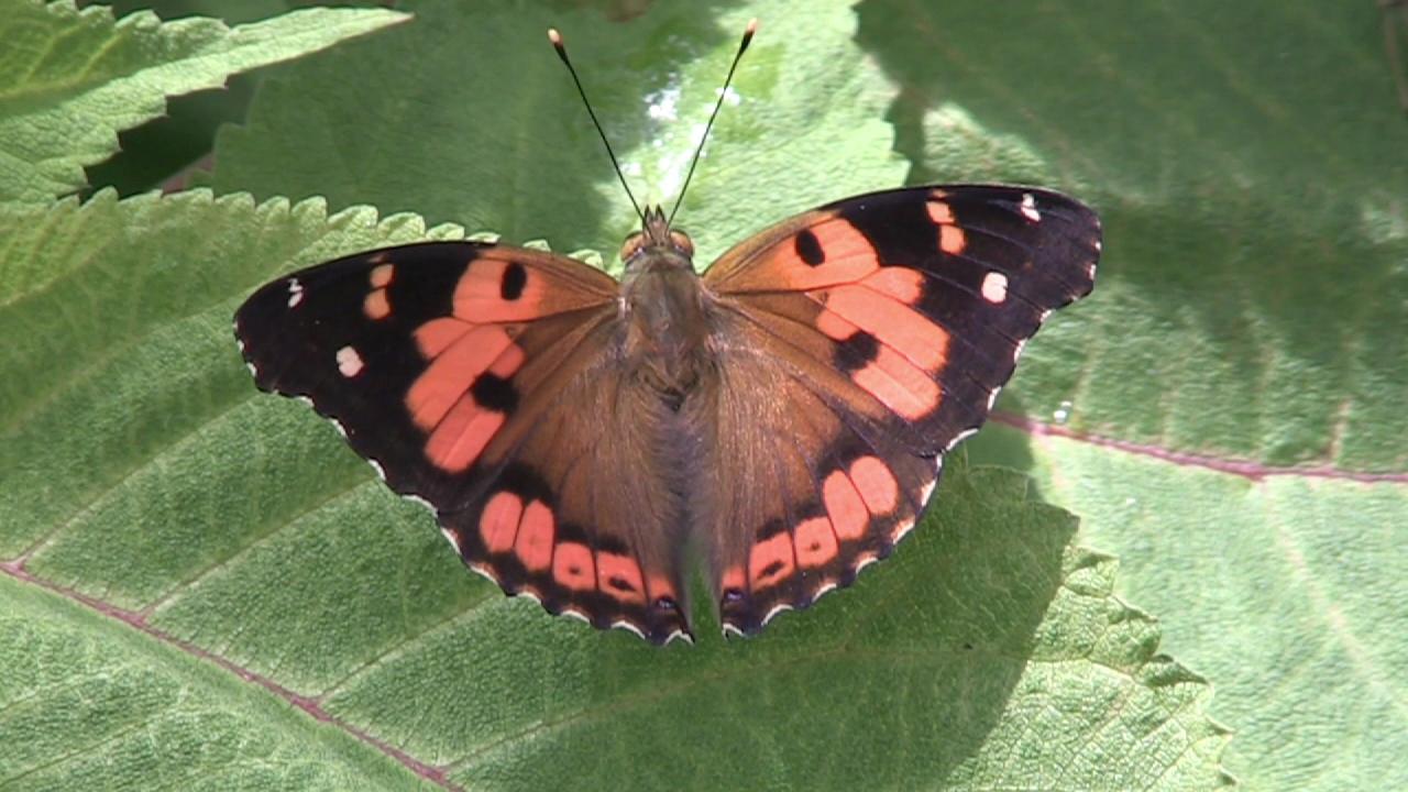 kamehameha butterfly_171659